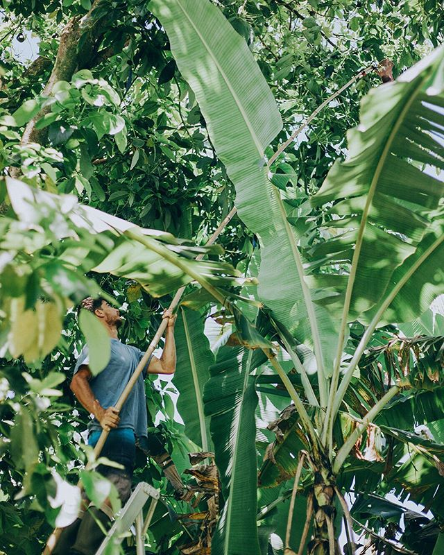 Avocado Season means lots of bamboo balance picking for this guy 🤩🥑 #hesgotthemoves . . . 📷 @tarashay_ #organic #farming #avocado #fruit #hana #maui #hawaii🌴