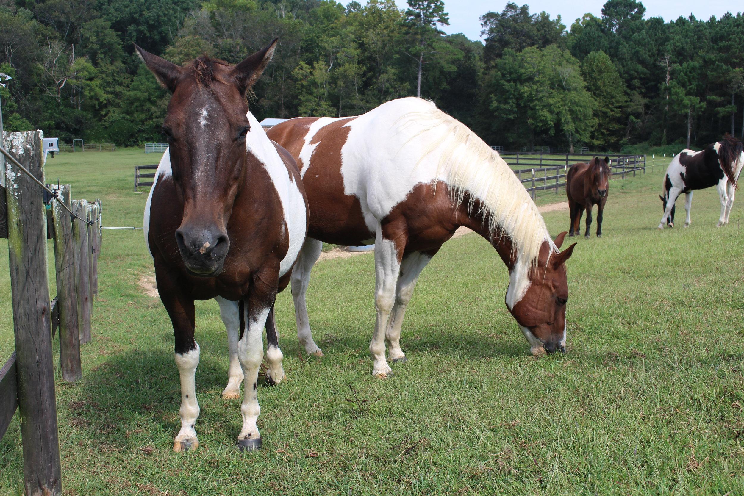 IMG_9554 Chubby Horses on lush cool pasture.JPG