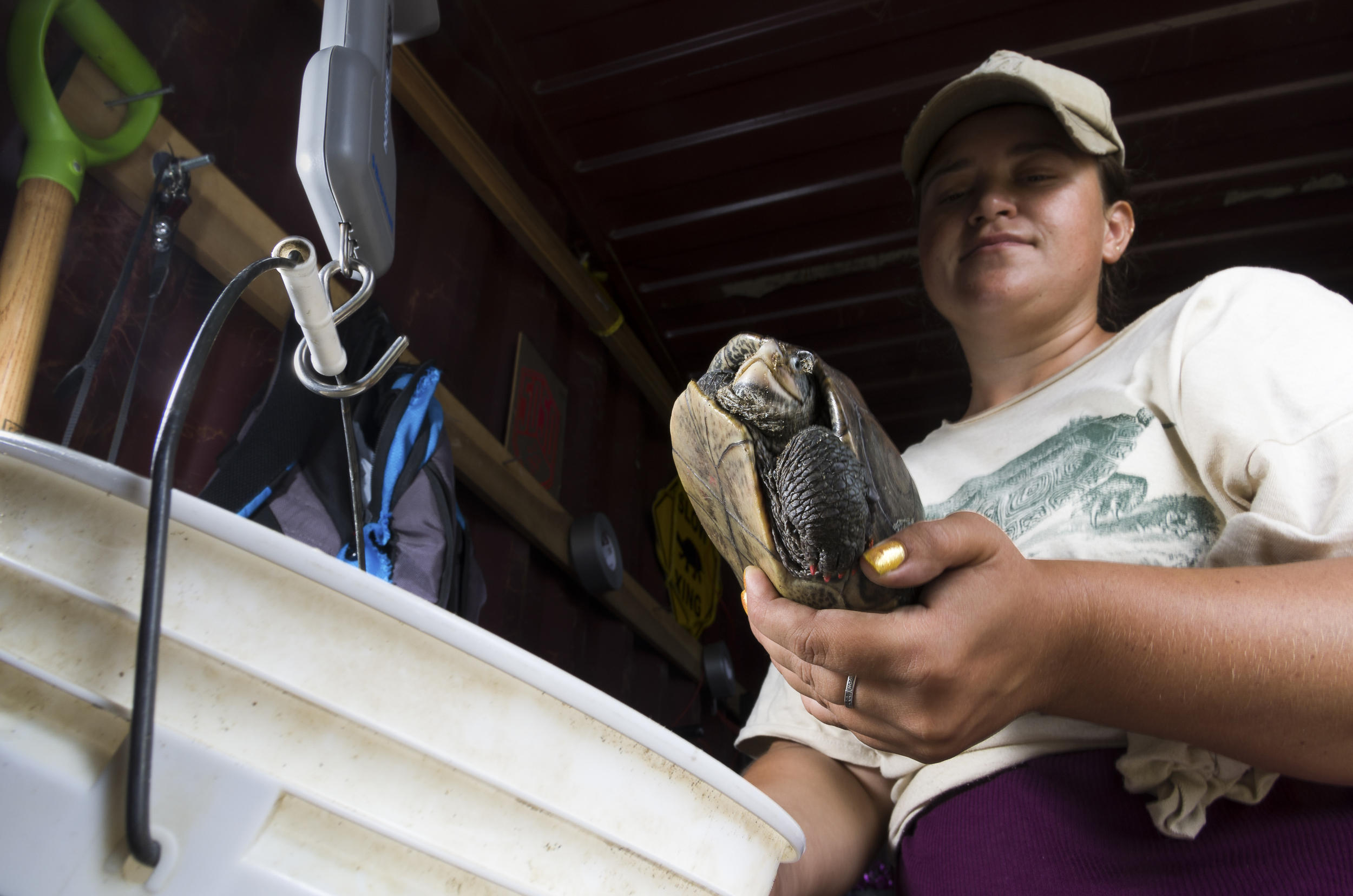 A Diamondback terrapin being weighed.