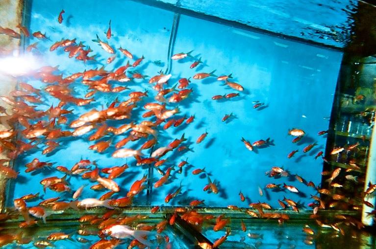 lindsay-dye-photography-art-goldfish.jpg