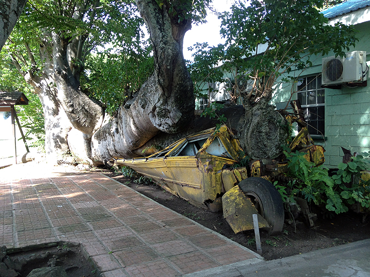 This huge African Boobab tree was felled in 1979 by Hurricane David, crushing the (empty) school bus.