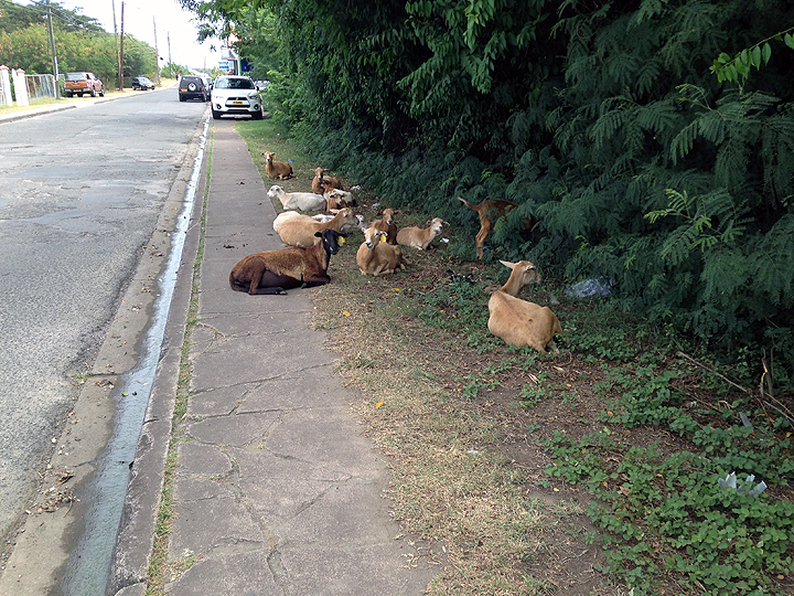 Caribbean sheep (goats- tails point up; sheep - tails points down), just waitin' for the bus