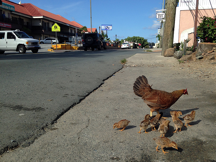 Urban chickens in Red Hook, St. Thomas