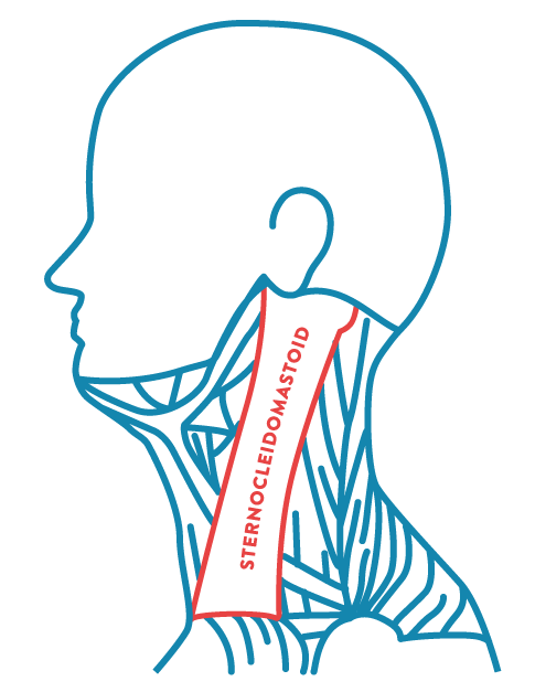 sternocleidomastoid diagram