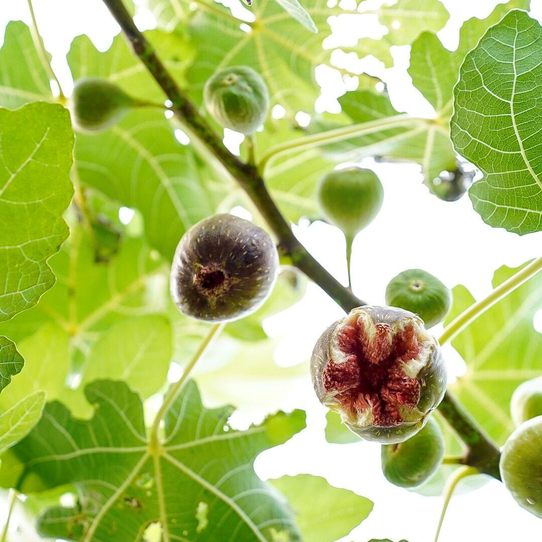 figs_sq.jpeg