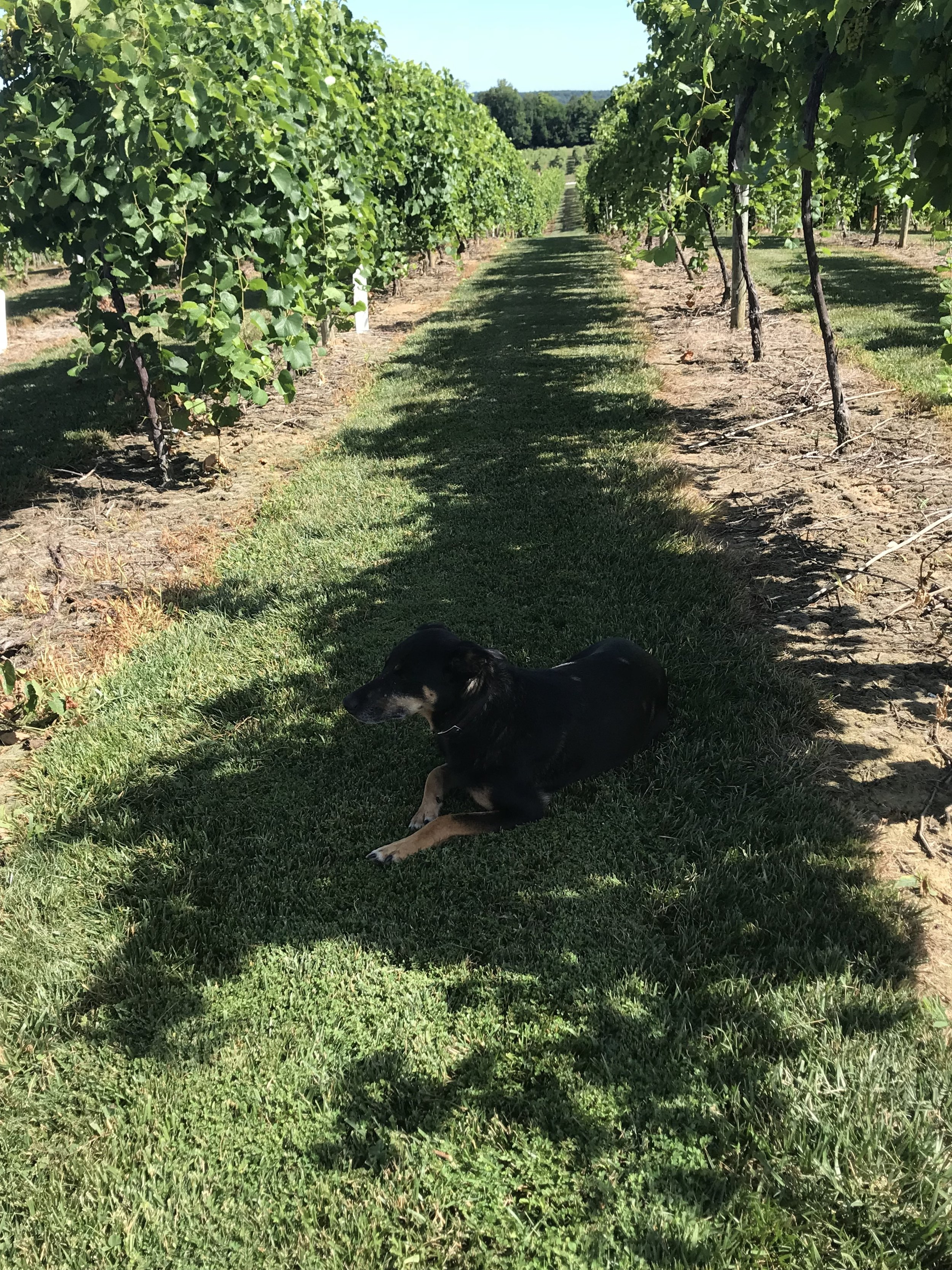 Shown here: your friendly local vineyard dog