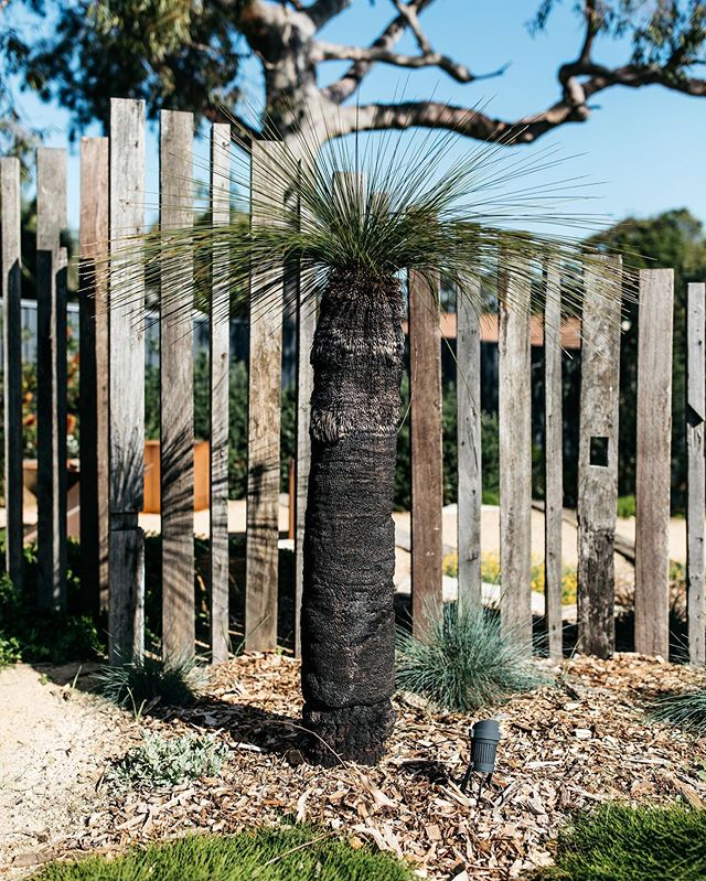 A grass tree standing tall on one of our projects. The screen behind was built from old floor joists from the renovated home.