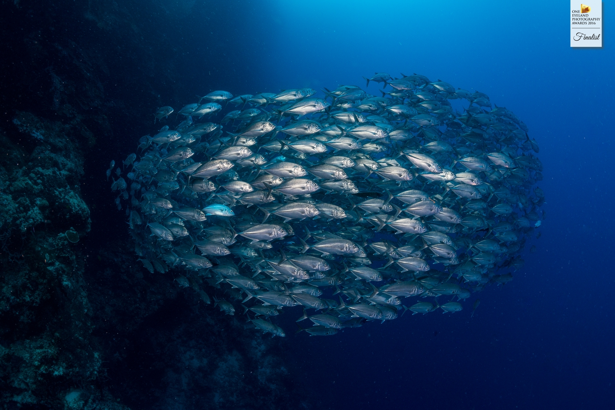 """Finalist (Nature, Underwater): """"School of Jacks by the Wall"""""""