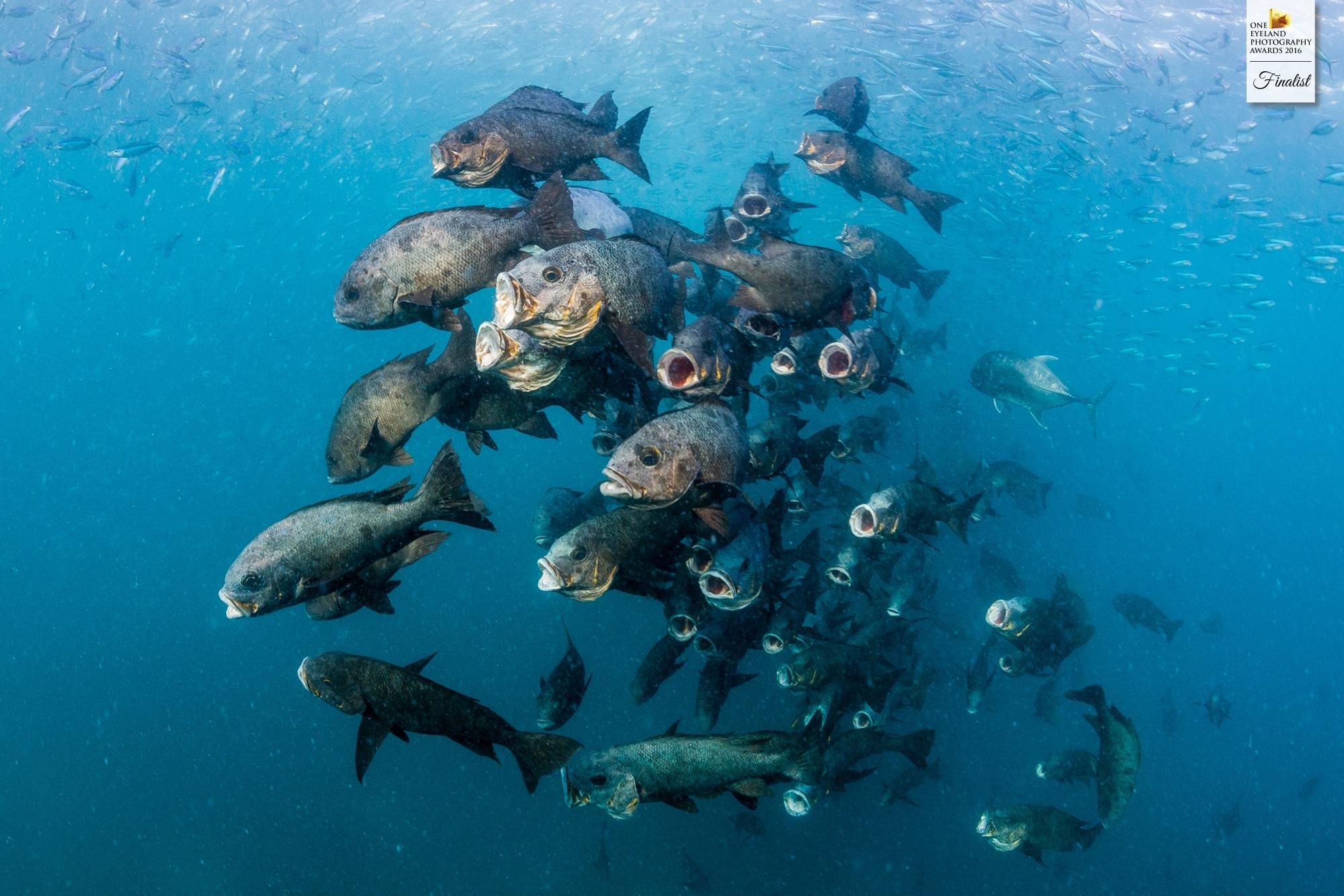 """Finalist (Nature, Underwater): """"Feeding Frenzy"""""""