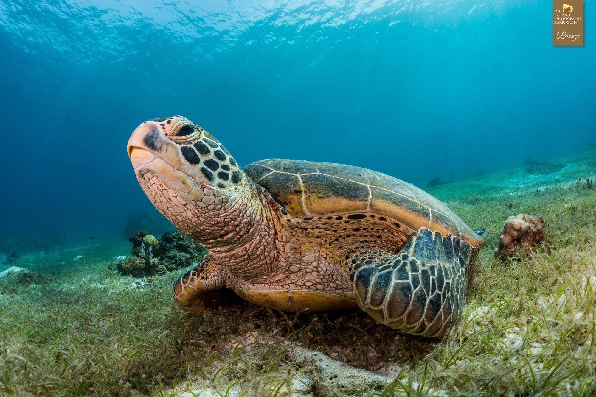 "Bronze (Nature, Underwater): ""Green Sea Turtle on Sea Grass Bed"""