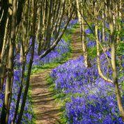 The bluebell splendour at Riverhill Gardens