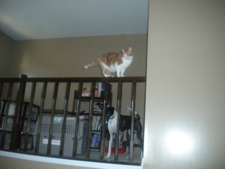 In his younger days, Pig was not afraid of falling the 20 feet or so from the loft in our townhouse.