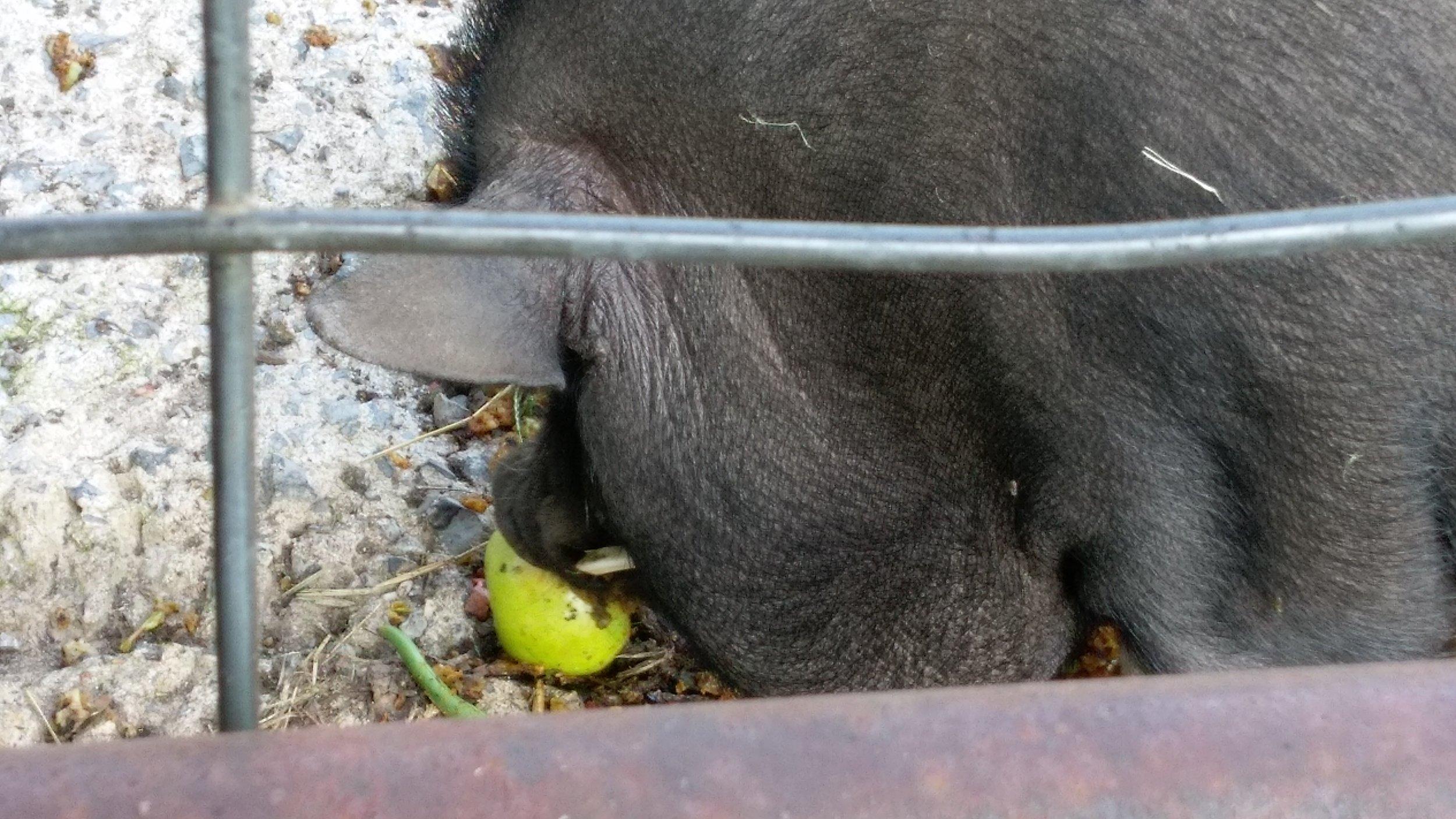 Pigs eating apples