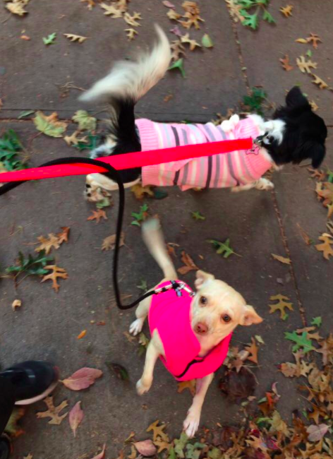One of our awesome Park Slope dog walkers took this picture of Zuzu and Chloe.