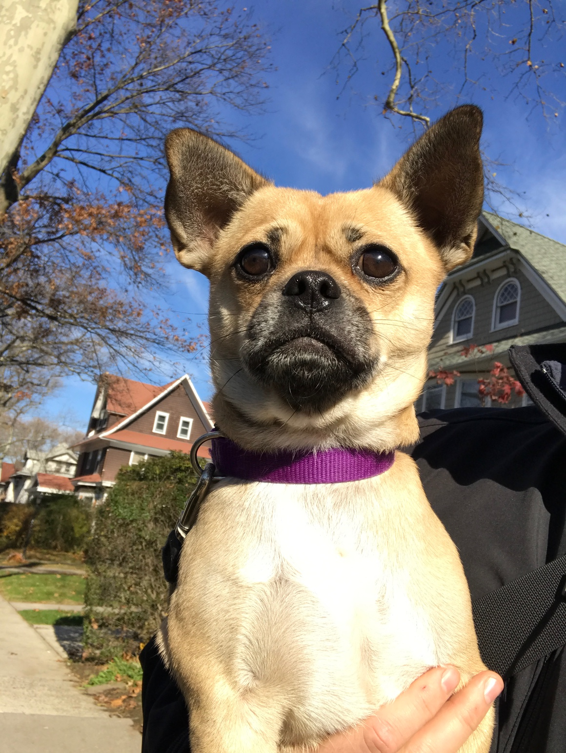 Photo of Ranger by our Ditmas Park/Midwood dog walker.