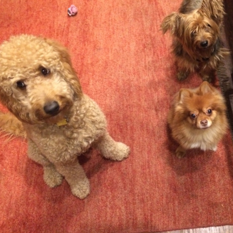 Photo taken during the pups' boarding at the dogger hotel