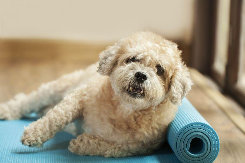 dog-yoga-mat.jpg.838x0_q80.jpg