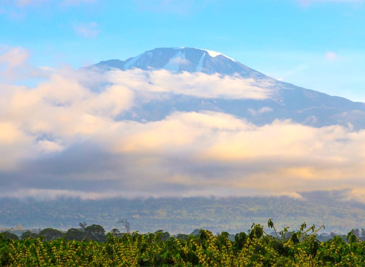Kilimanjaro Classic Tanzanian Peaberry available soon!