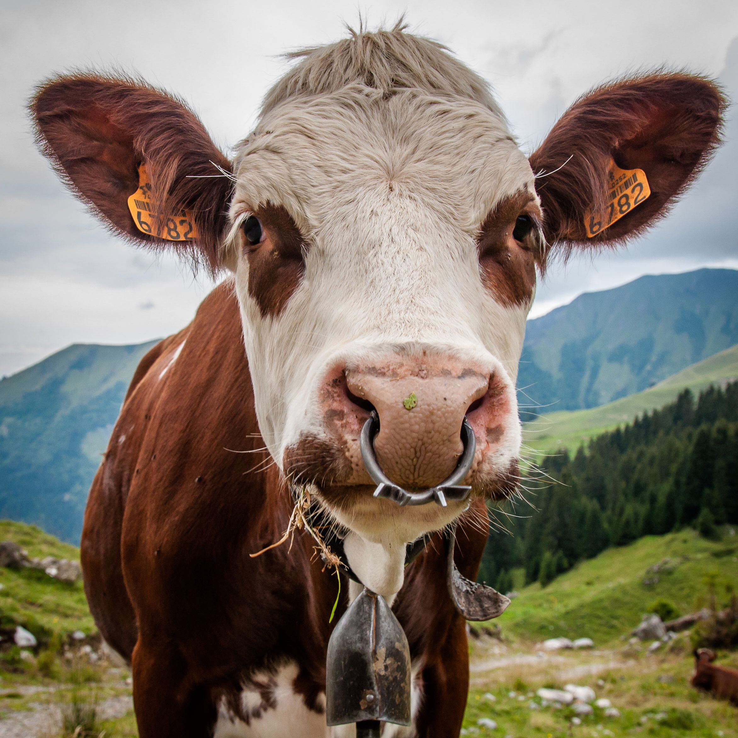 Not-so-wild life: Cows here really do have bells