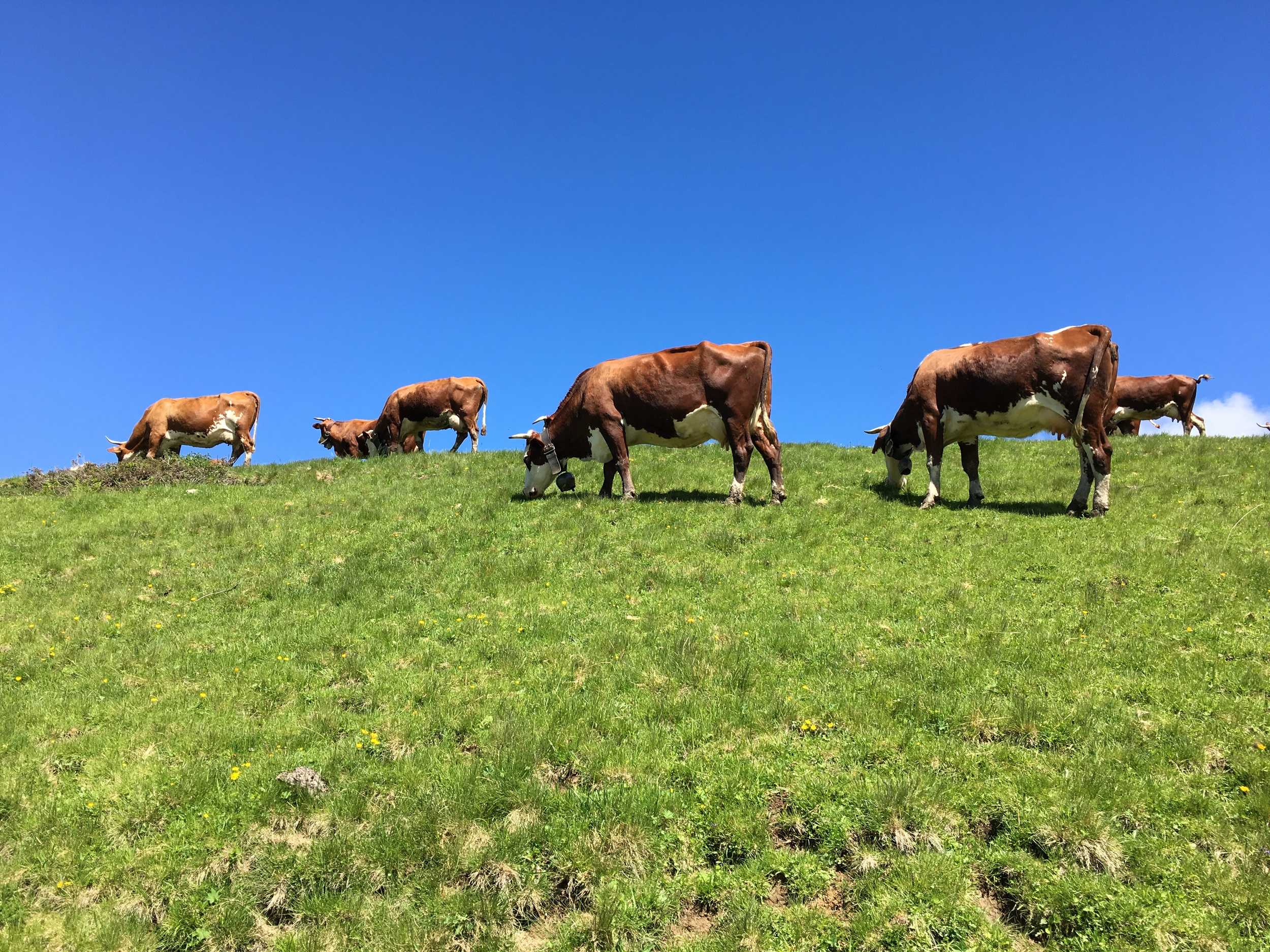 Cows.  Behaving like mountain goats.