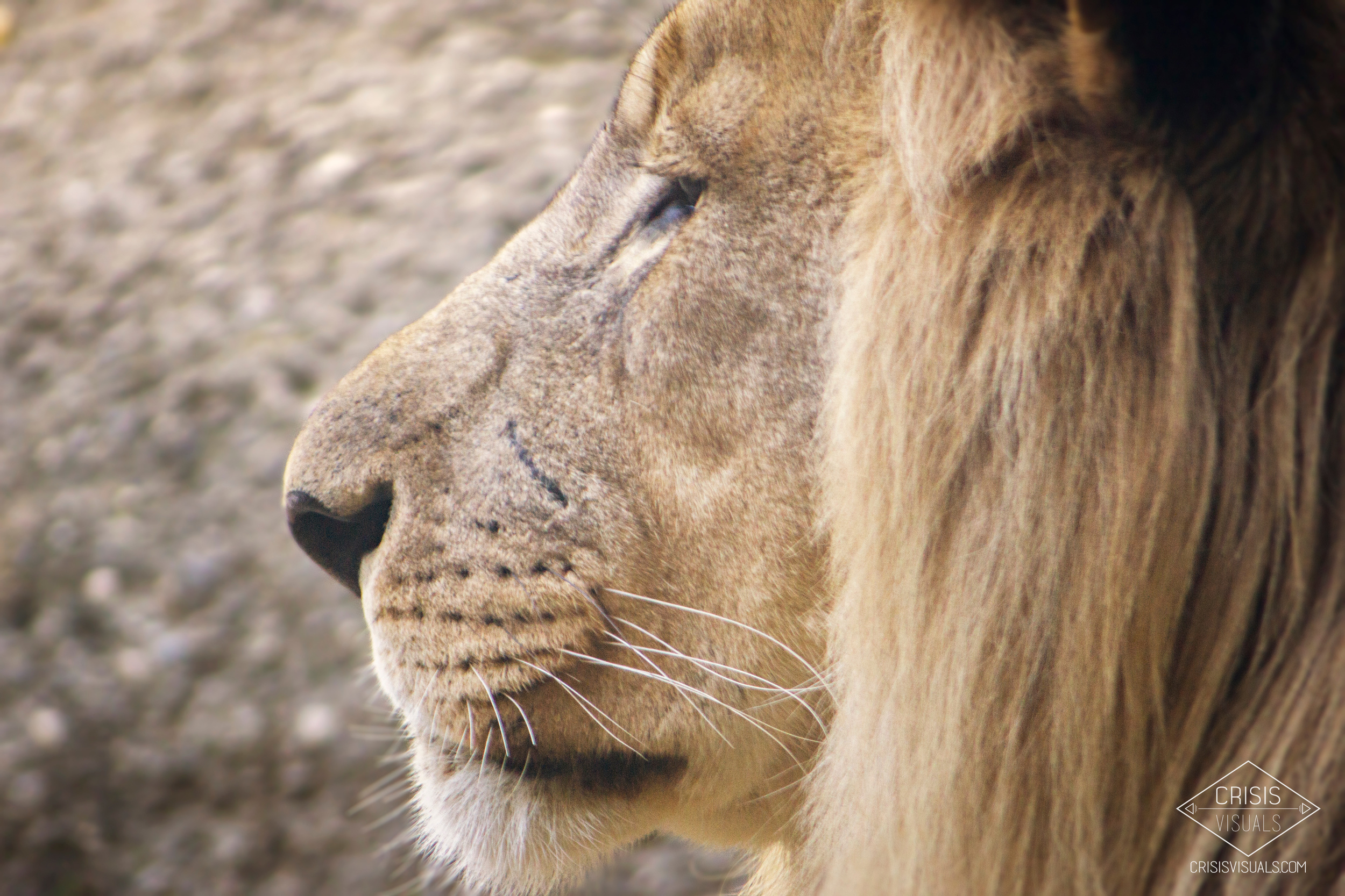 Lion's Profile