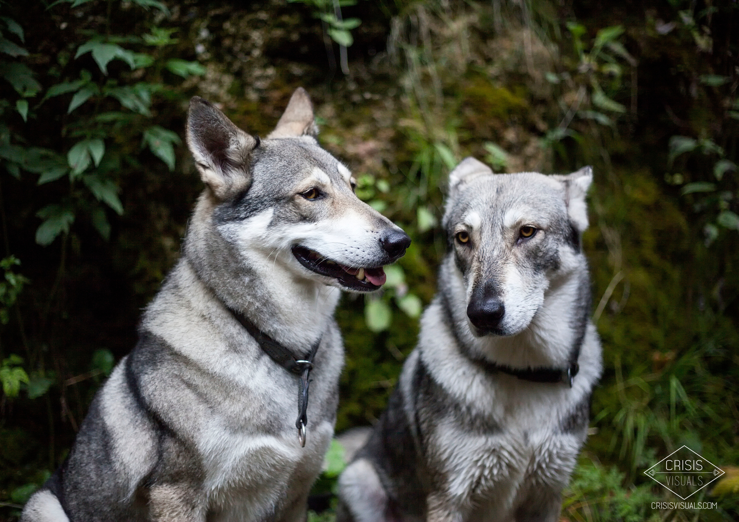 Saarlos Wolfs