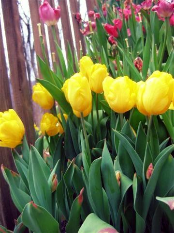 daffodils-3-30-10-031.jpg