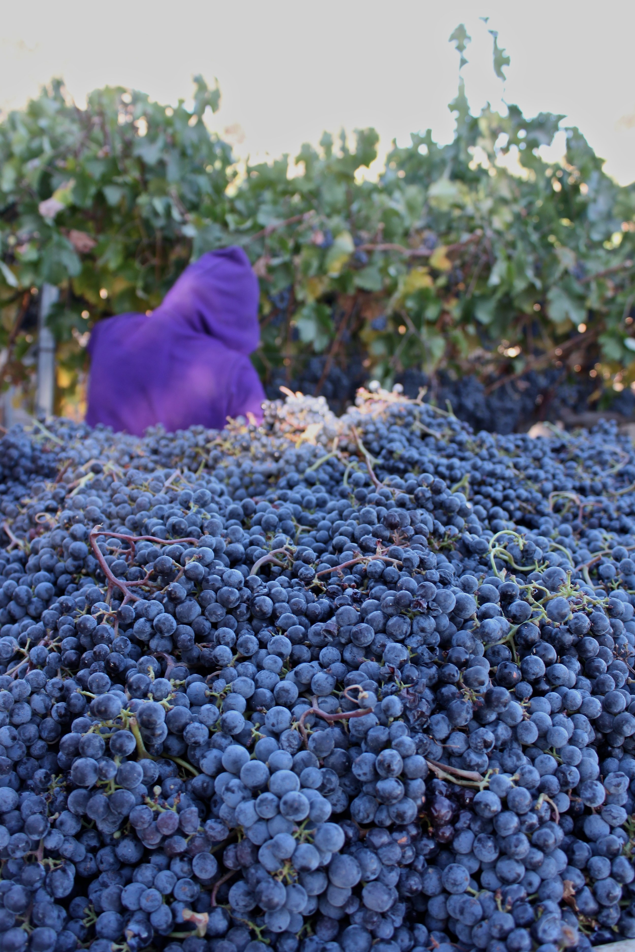 Cabernet Franc being picked in early morning fog.