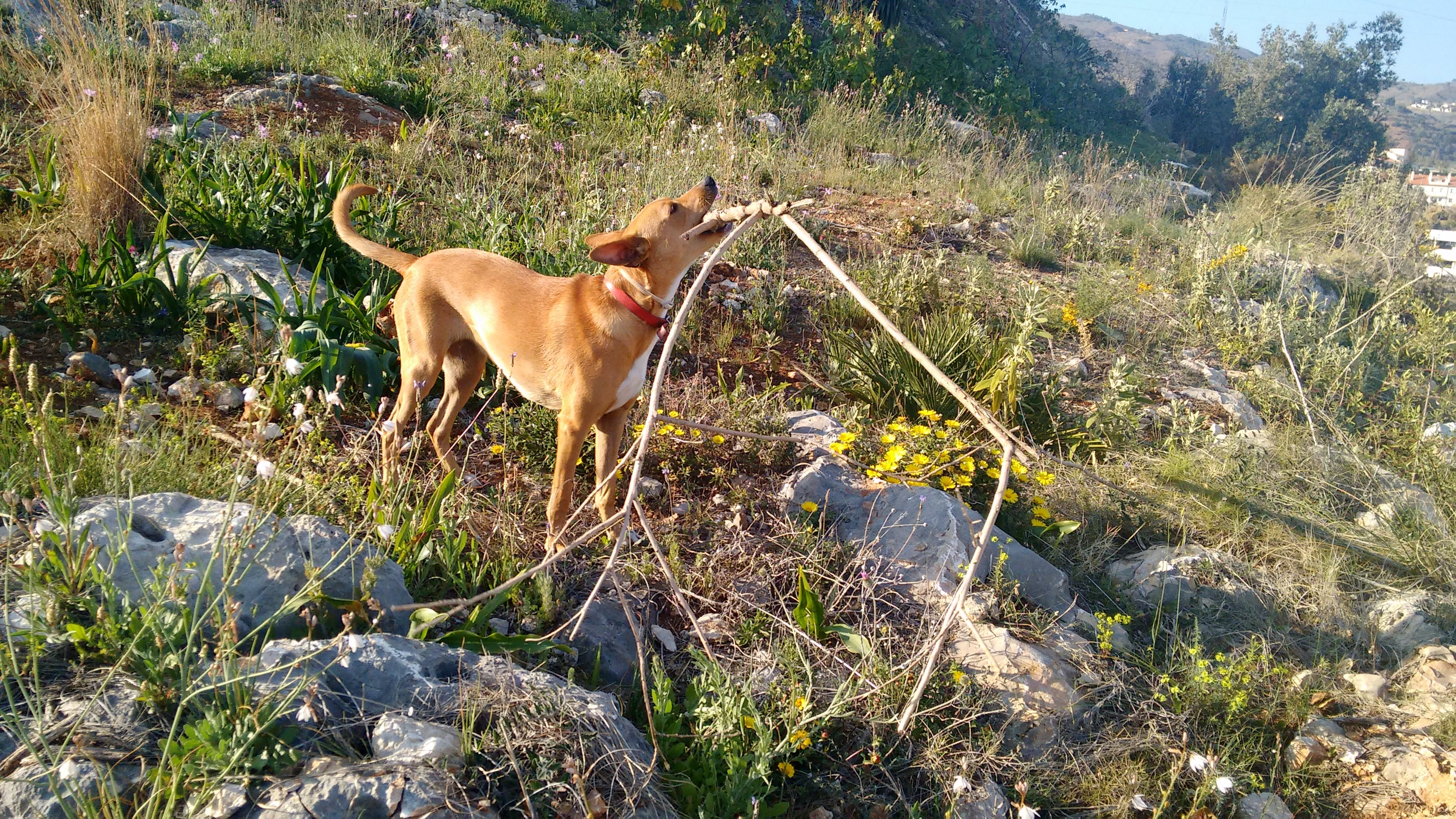 Walks with Haya are all about sticks (and wild flowers). /  Siempre hay palos de por medio (además de flores silvestres) en los paseos con Haya.