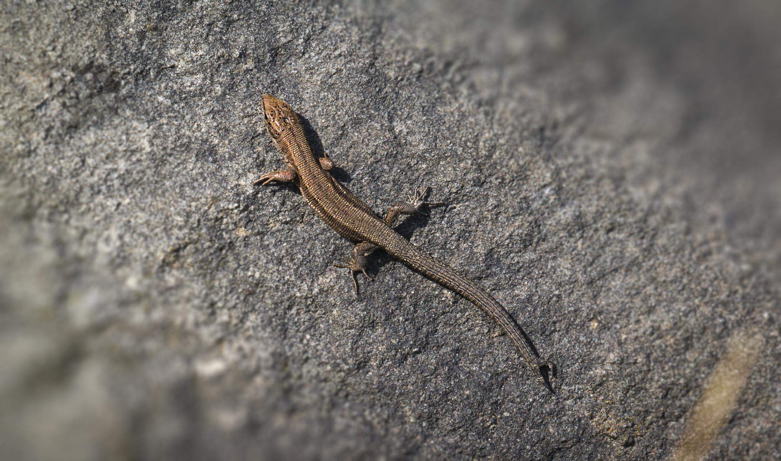 Common Lizard 4th September.jpg