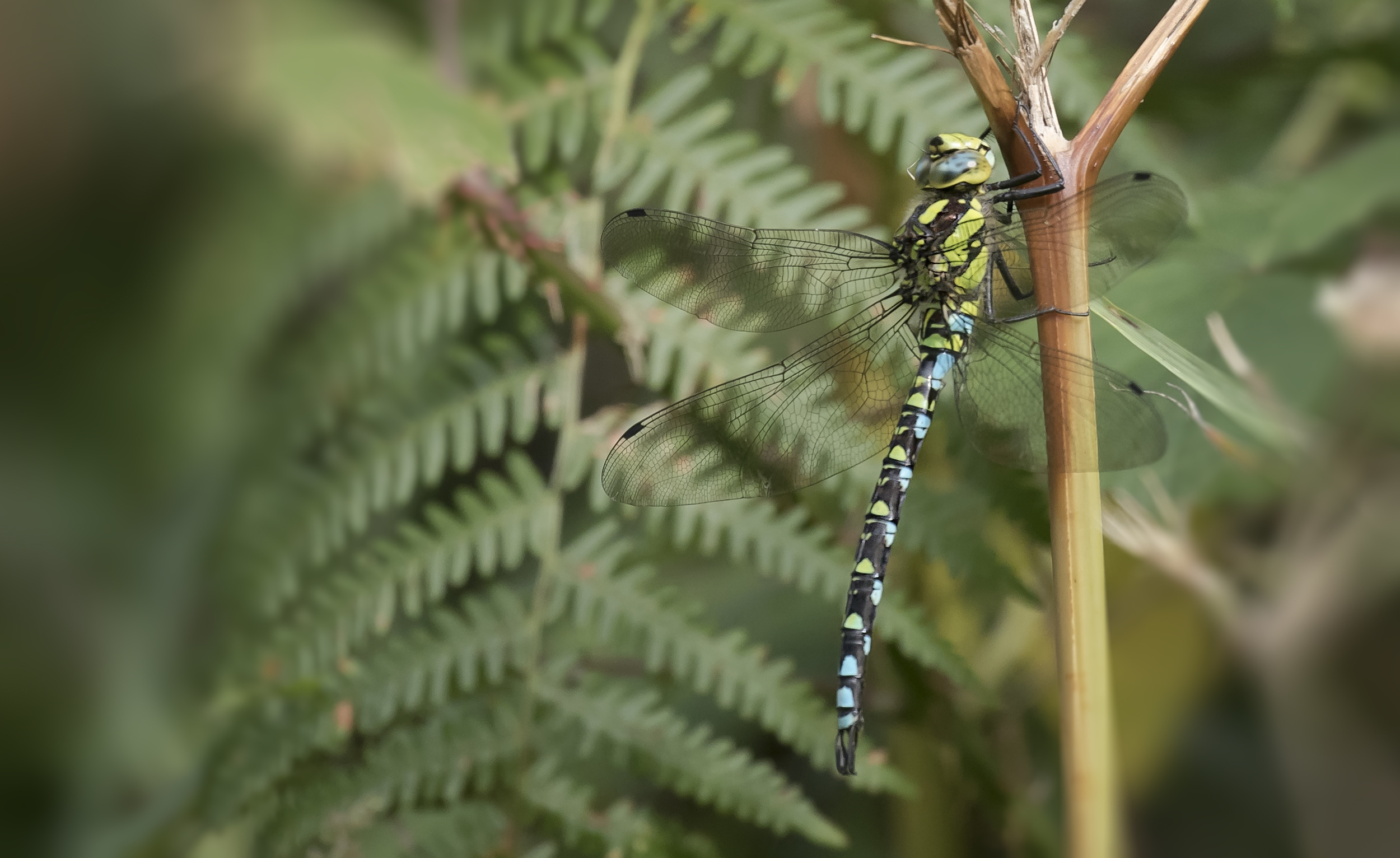 Southern Dragonfly
