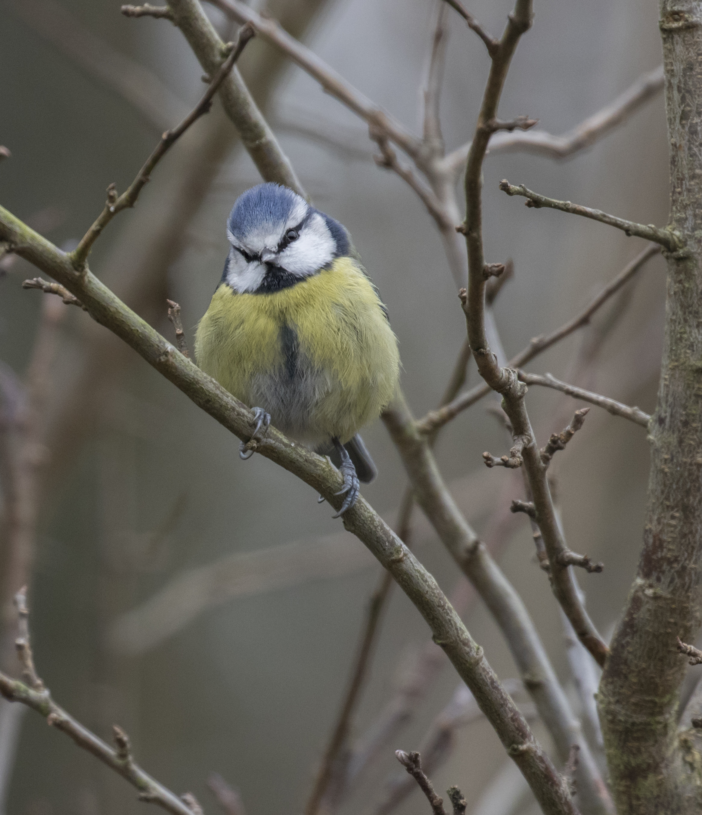 Bluetit Tilt 12th Feb.jpg