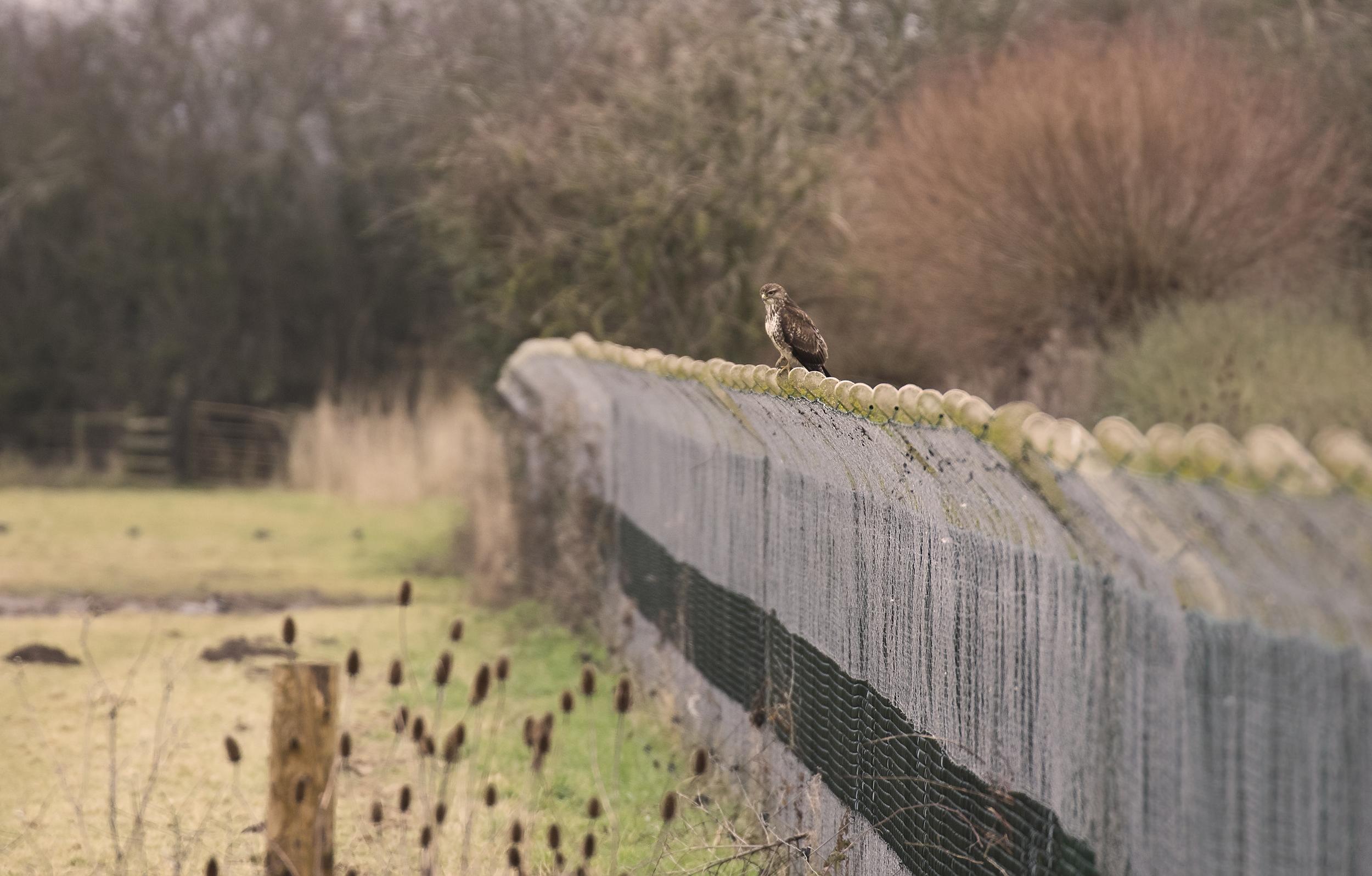 Buzzard on fence 16th Feb.jpg