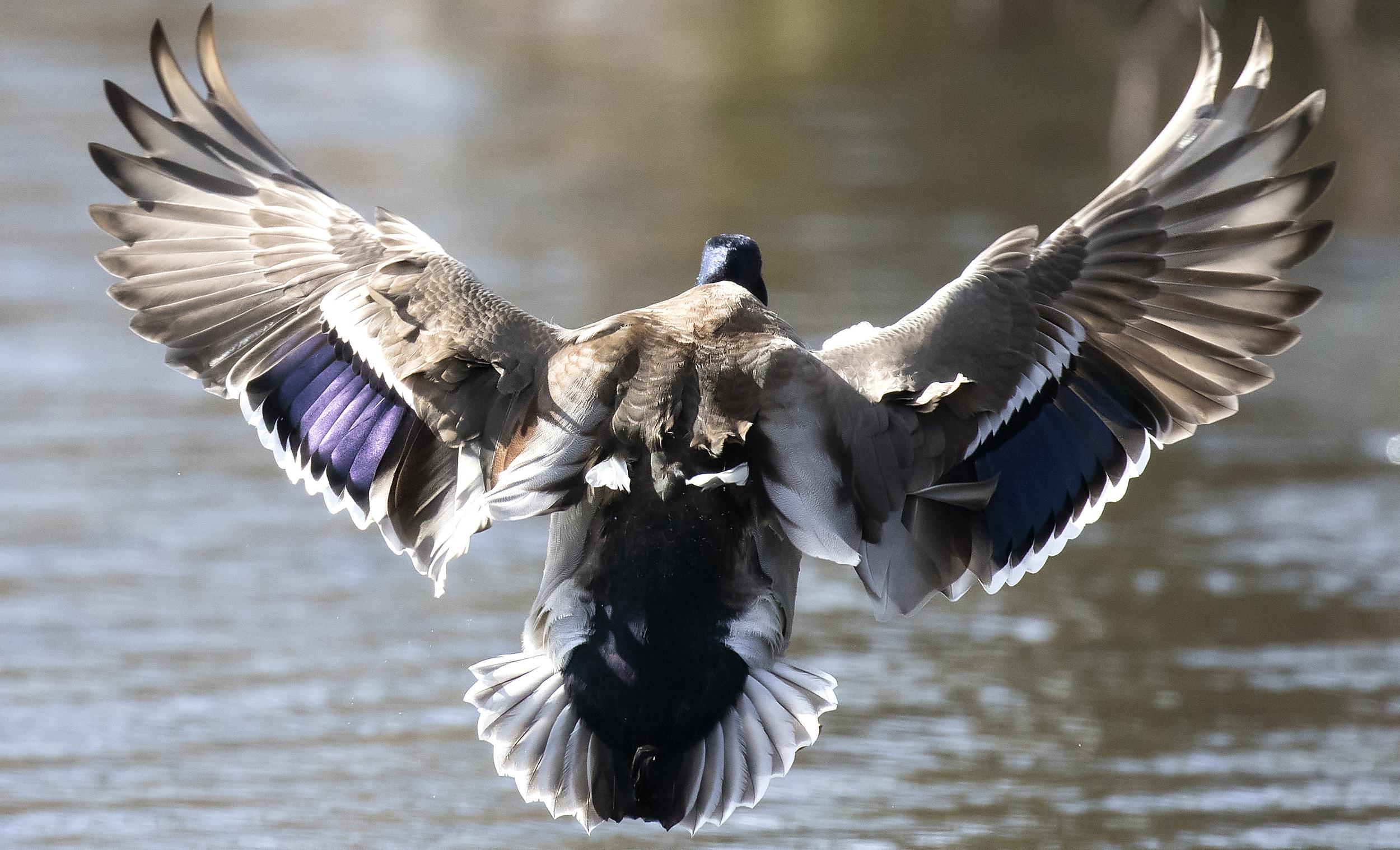 Male Mallard Wings 27th Feb.jpg