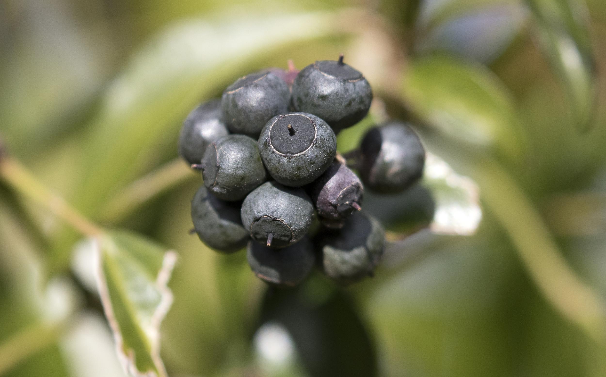 Ivy Berries.jpg