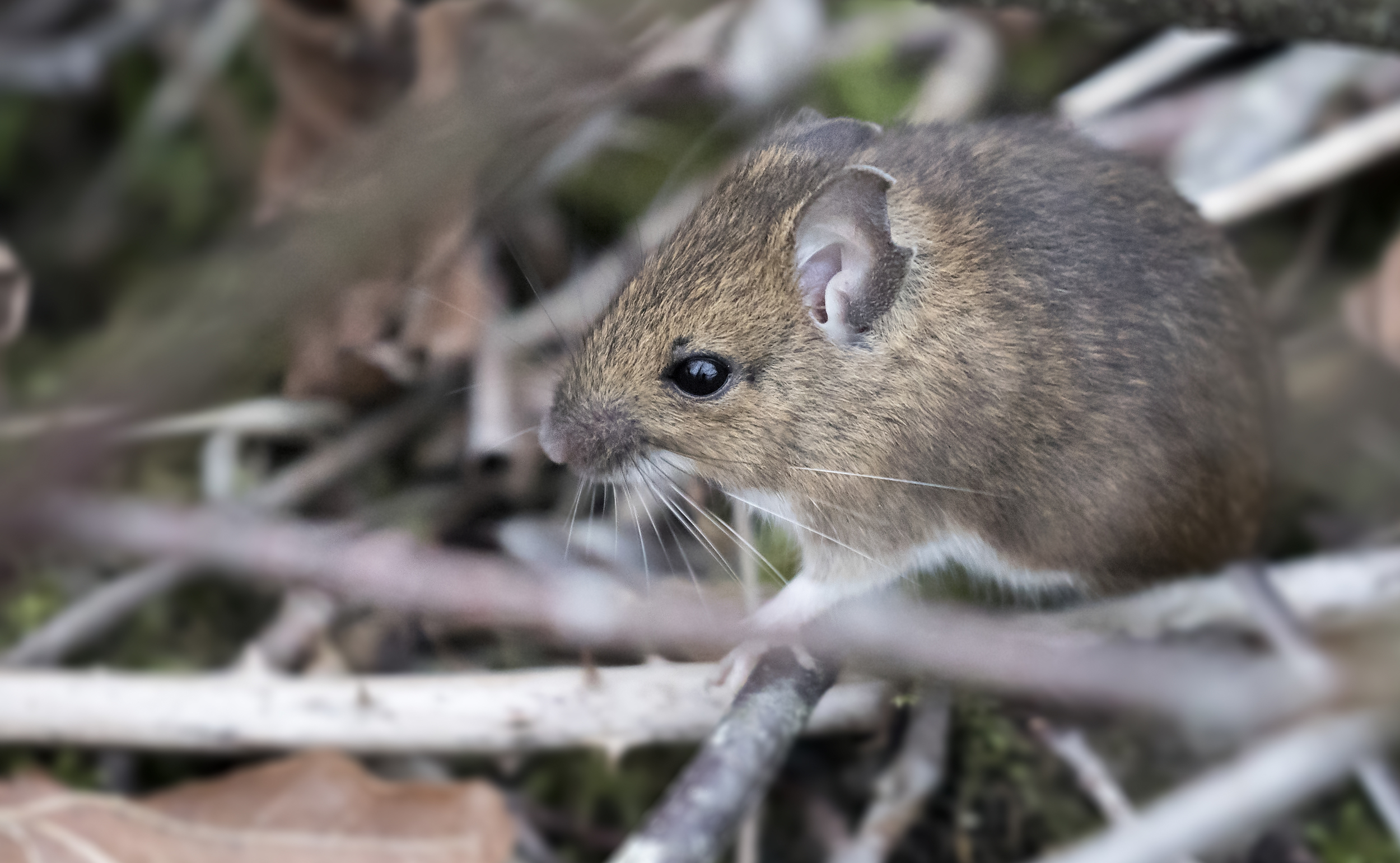 Field Mouse 28th Feb.jpg