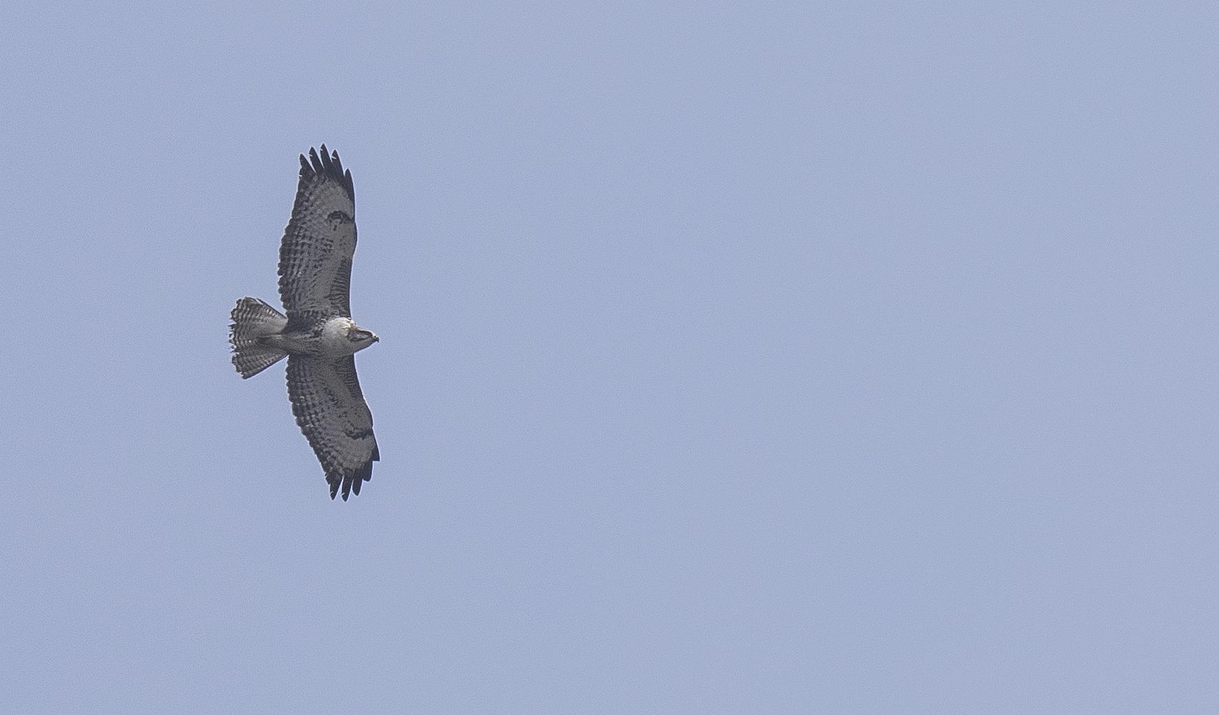 Pale Buzzard 19th March.jpg