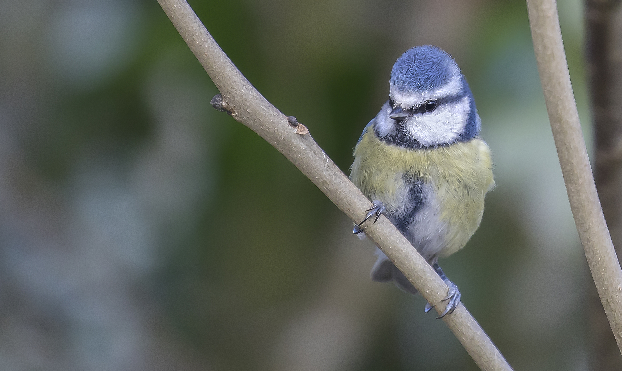Bluetit 20th March.jpg