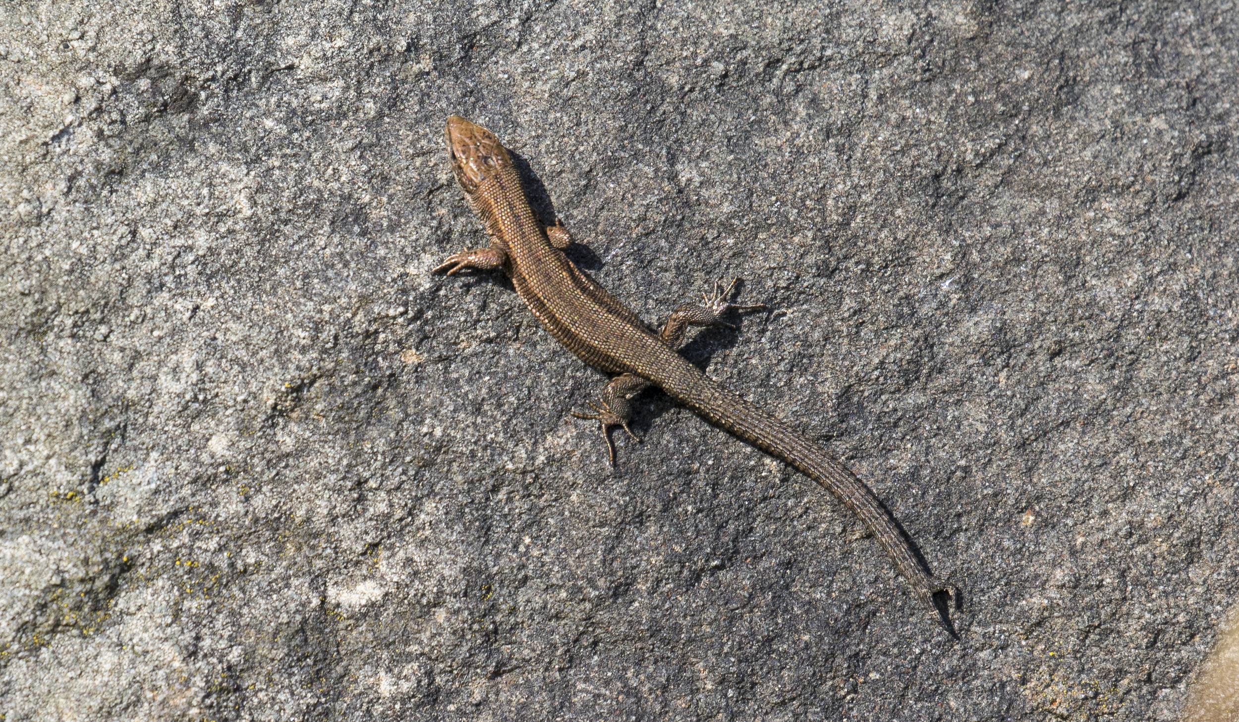 Common Lizard double tail 22nd March.jpg