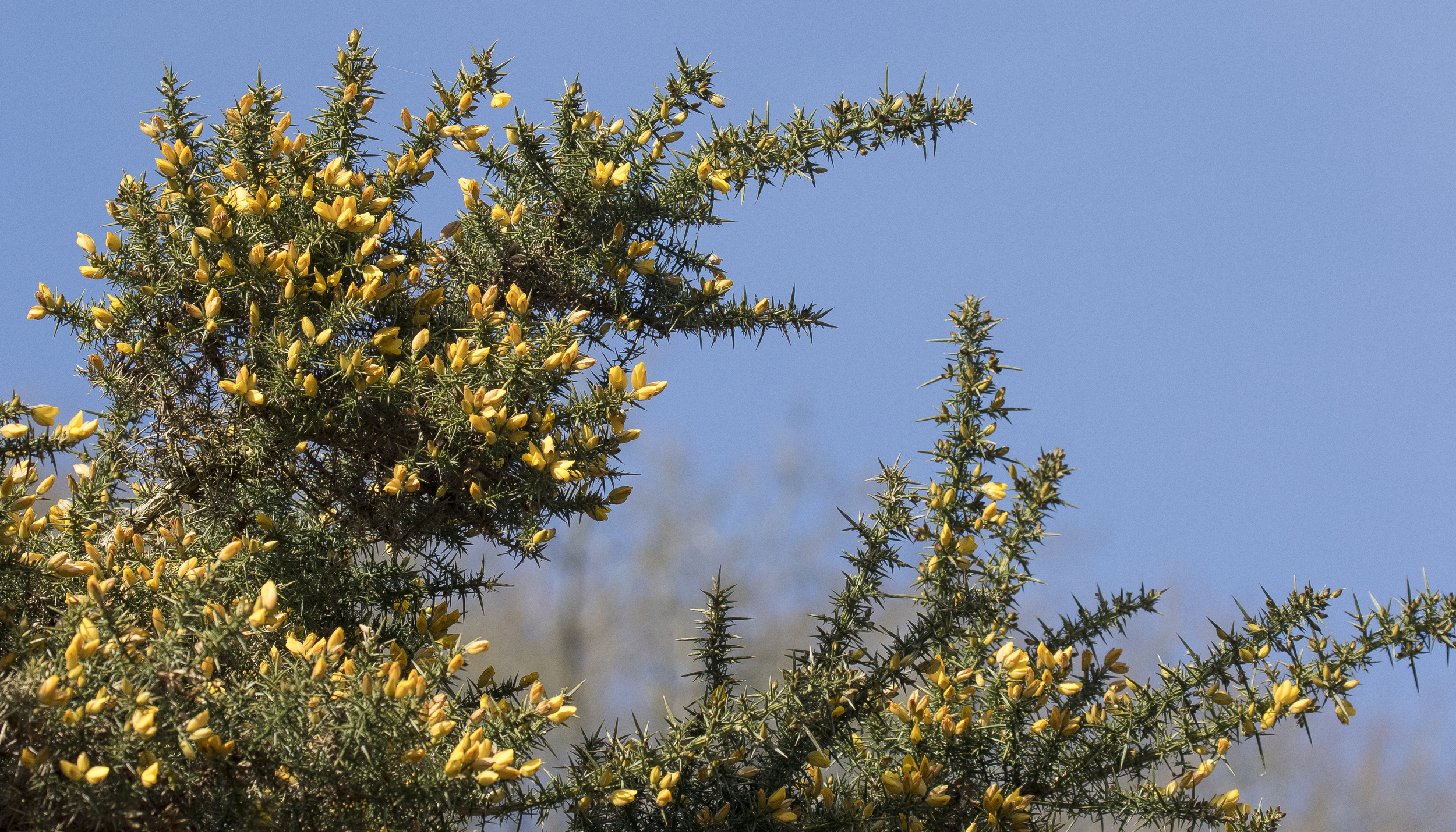 Common Gorse 22nd March.jpg