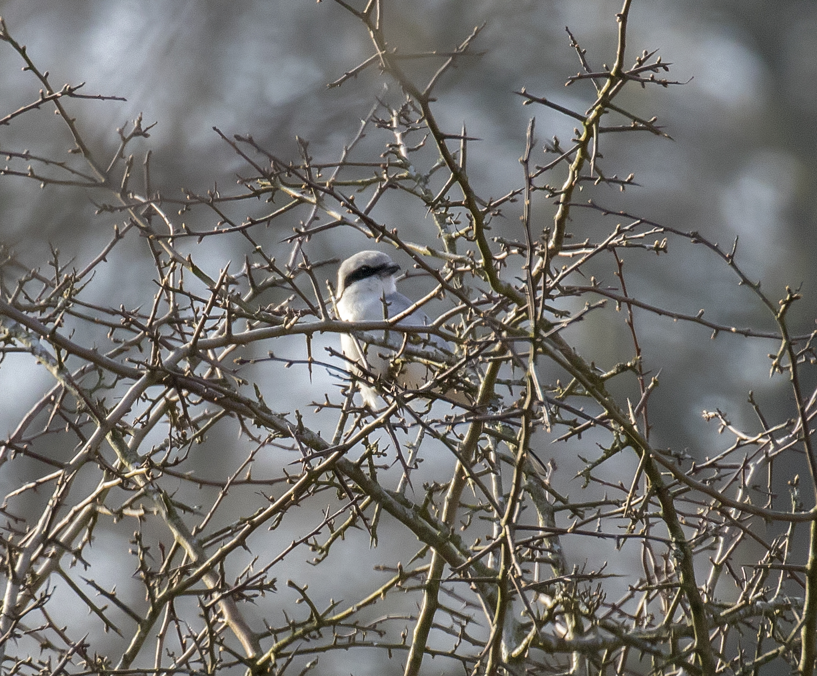 Great Grey Shrike Crop.jpg