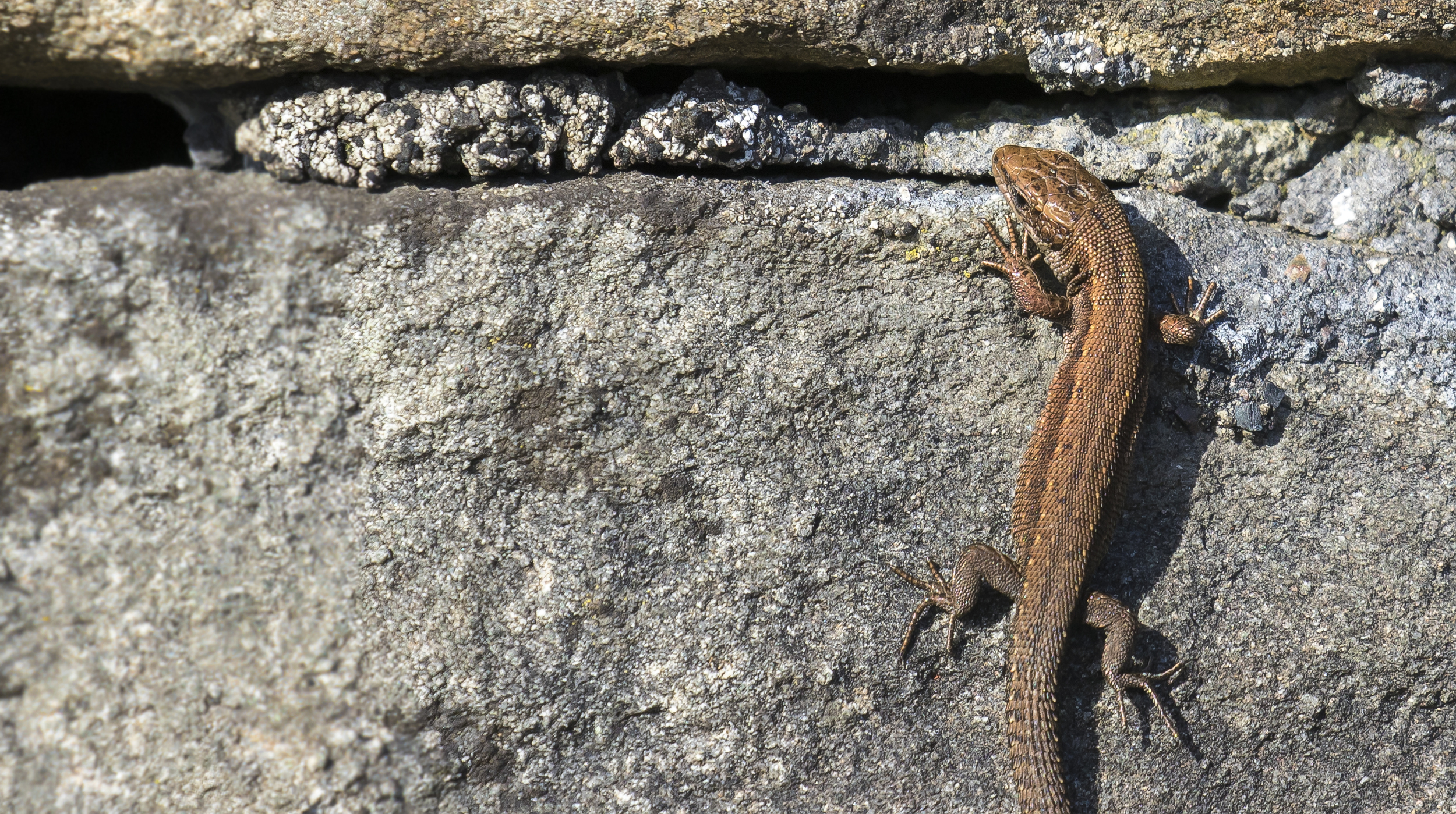 Common Lizard 22nd March.jpg
