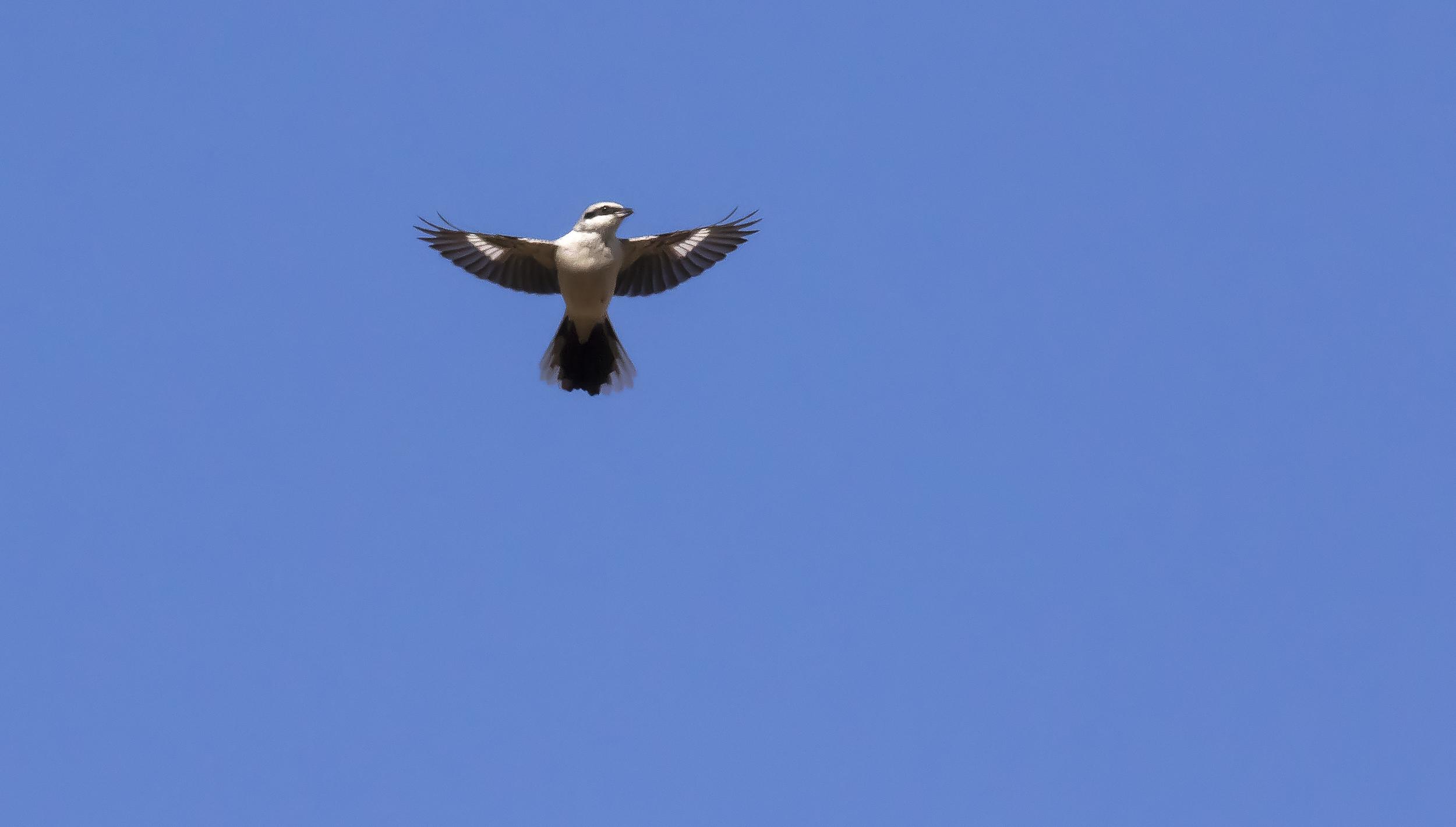 Great Grey Shrike Flight Shot L.jpg