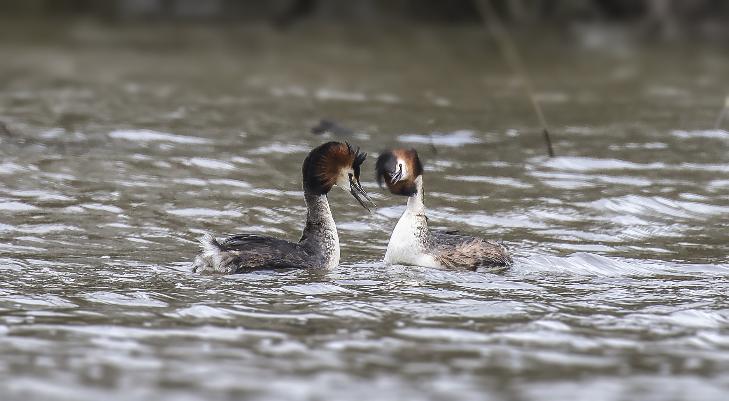 Great Crested Grebes Courting 1st April.jpg