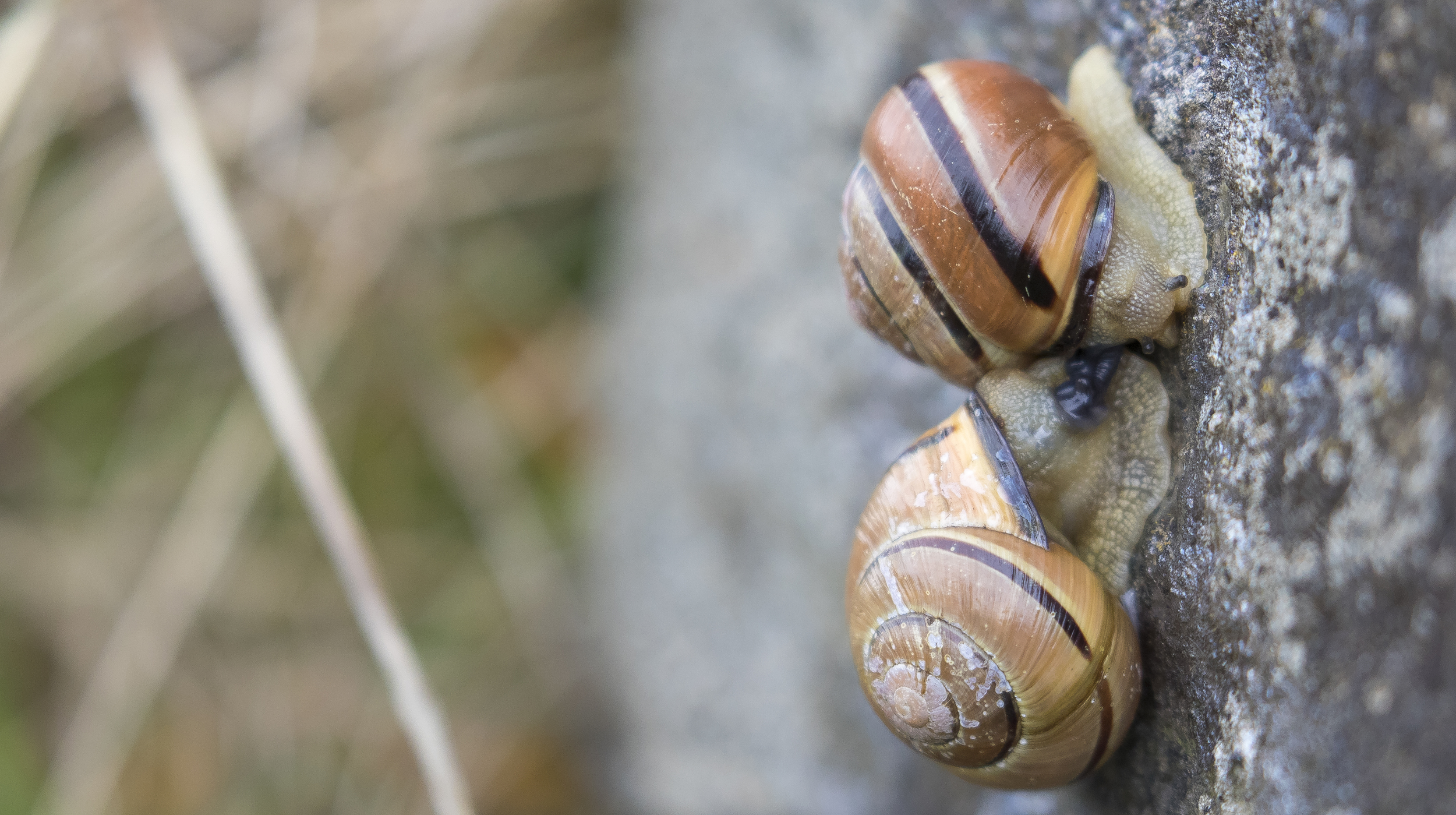 Brown-lipped Snails Copulating 4th April.jpg