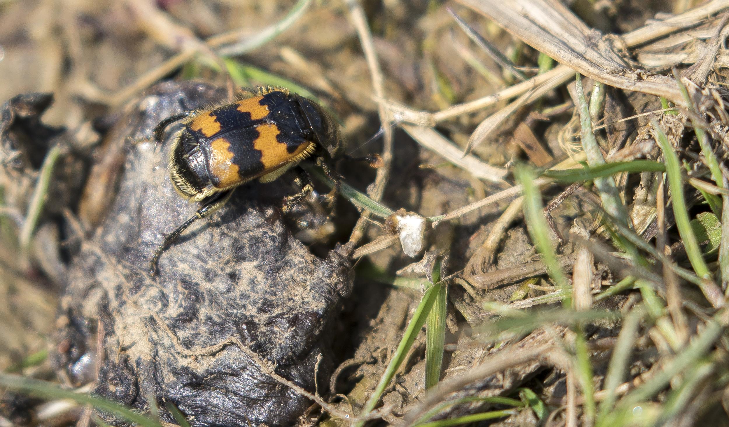 Burying Beetle On Carcus 4th April.jpg