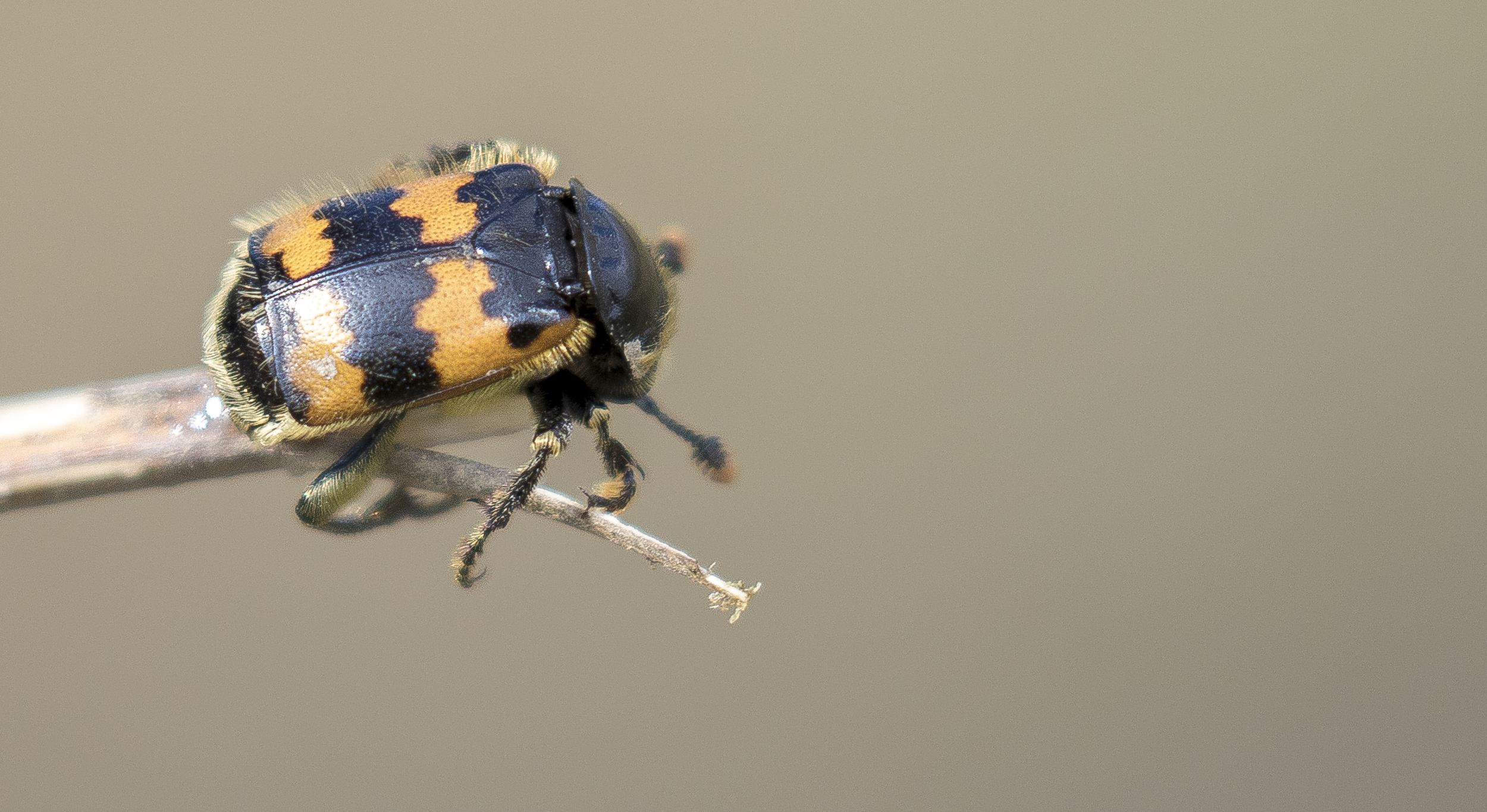 Burying Beetle (Sexton) 4th April.jpg