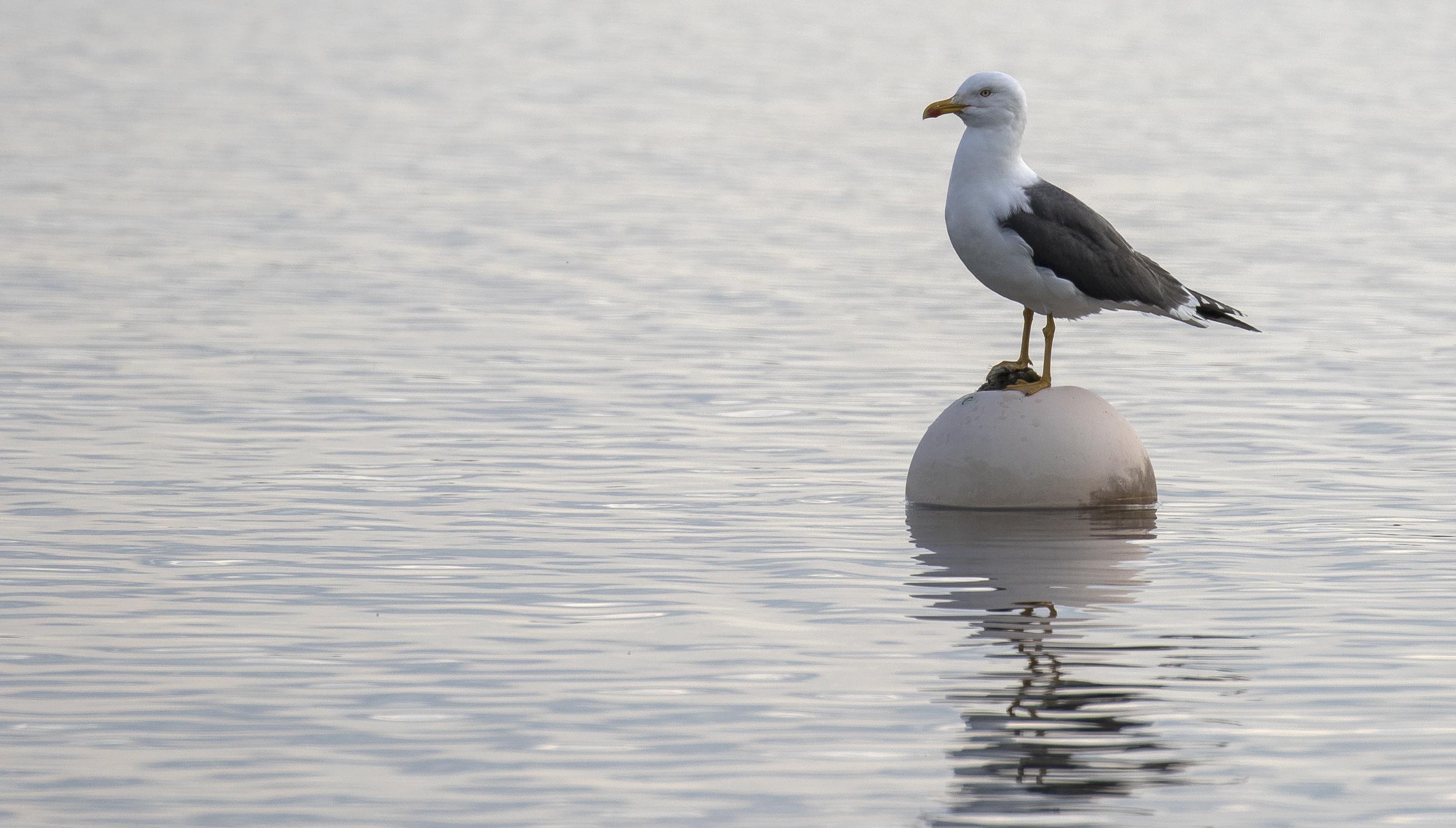 Lesser Black-backed Gull 4th April.jpg