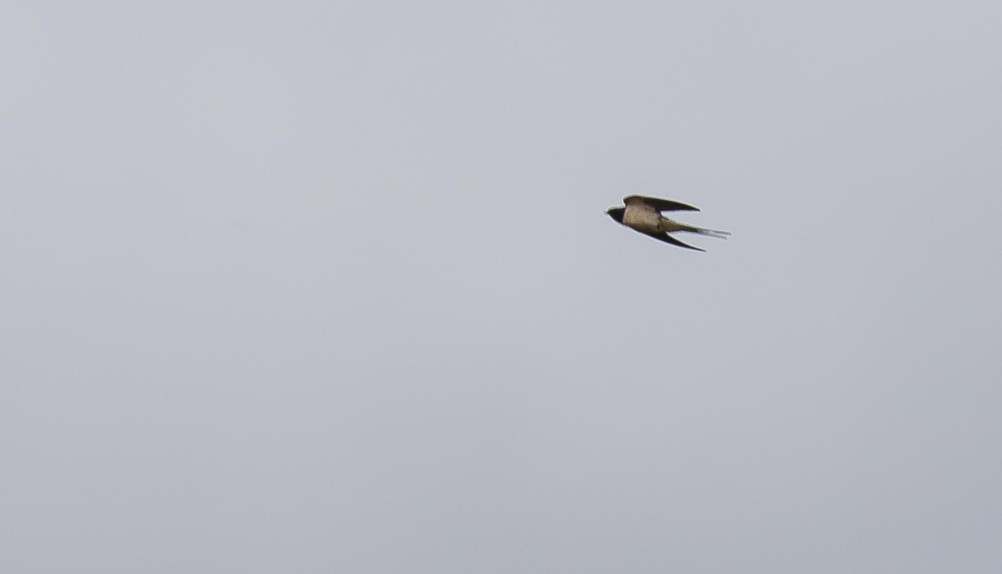 First Swallow 3rd April.jpg