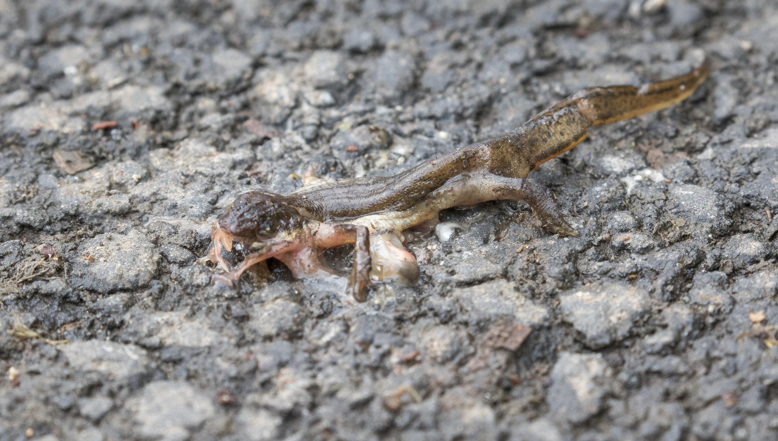 Dead Newt 3rd April.jpg